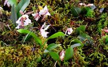 Cultivo-de-orquideas---foto